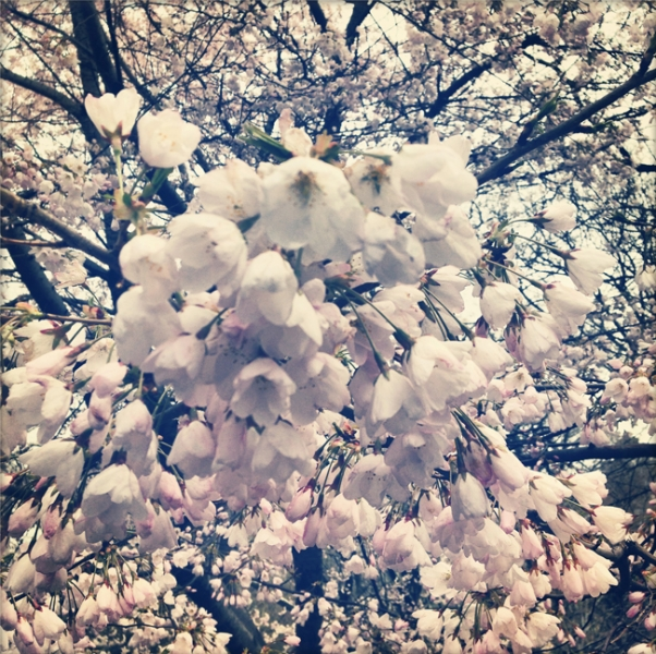 Blossoms 2, Central Park, NYC 2014
